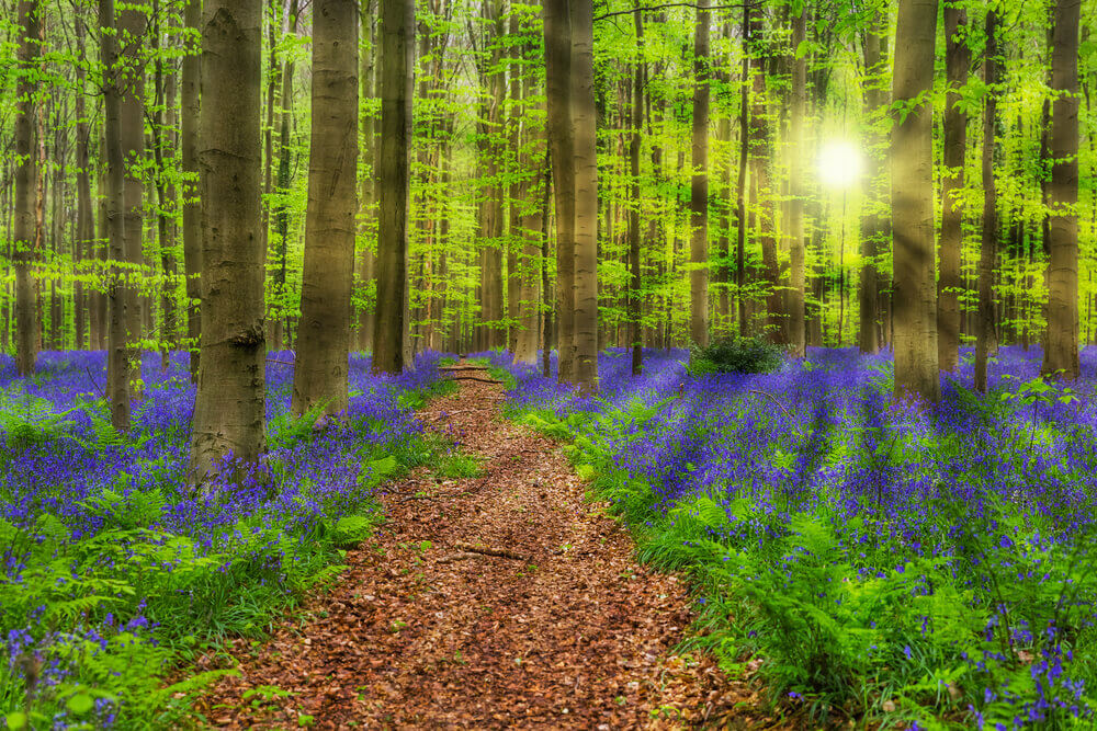 breathtaking landscapes in Europe. Famous forest Hallerbos in Brussels Belgium - nature background