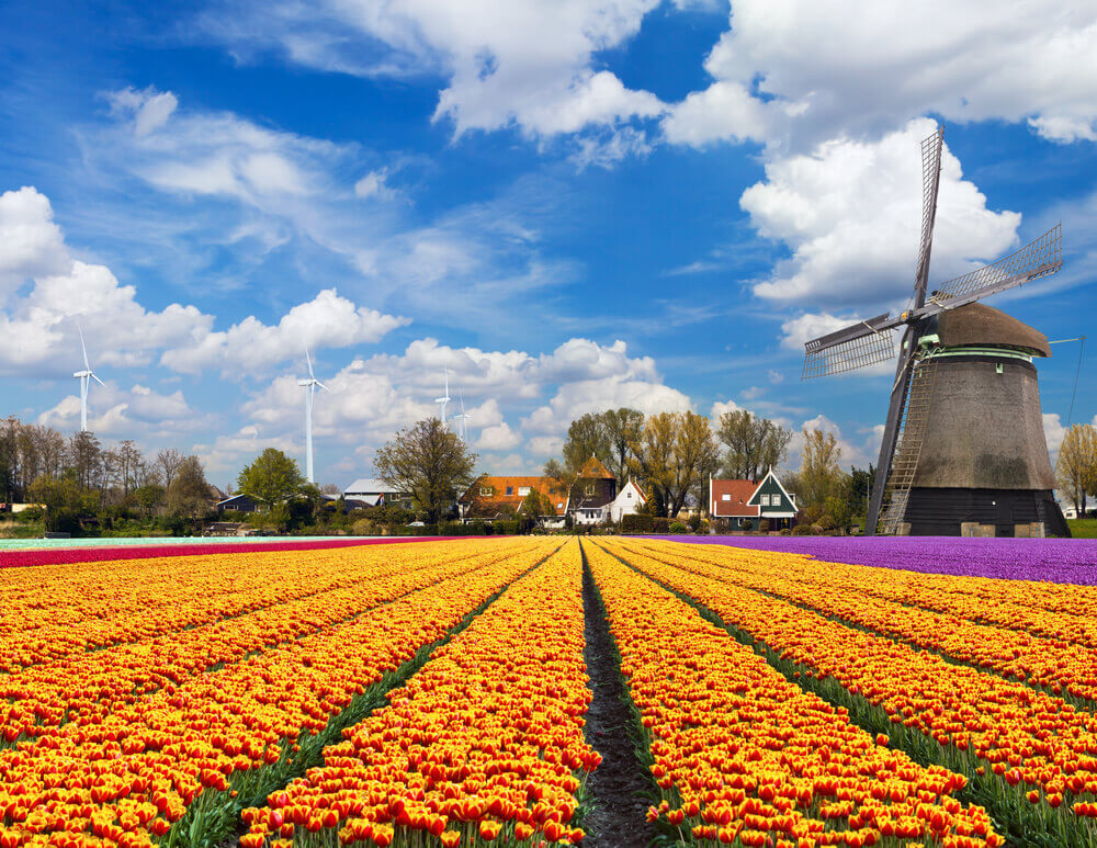 #Windmill #tulips in the #Netherlands