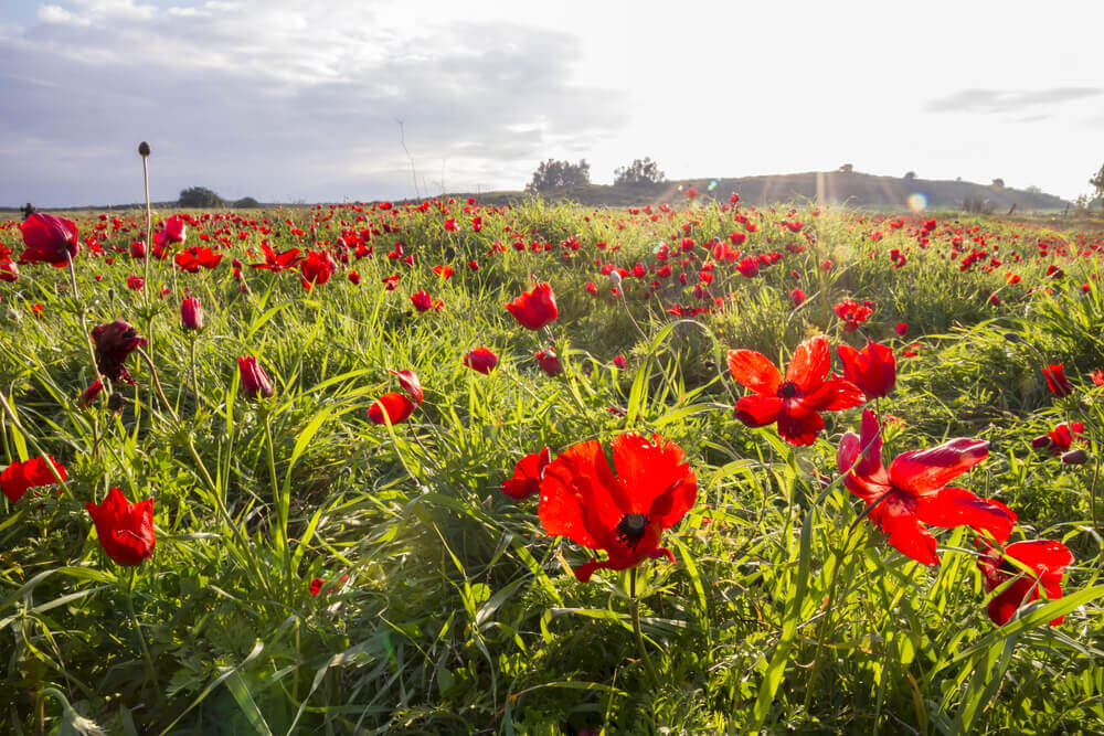 Red anemones carpet the ground in Southern Israel