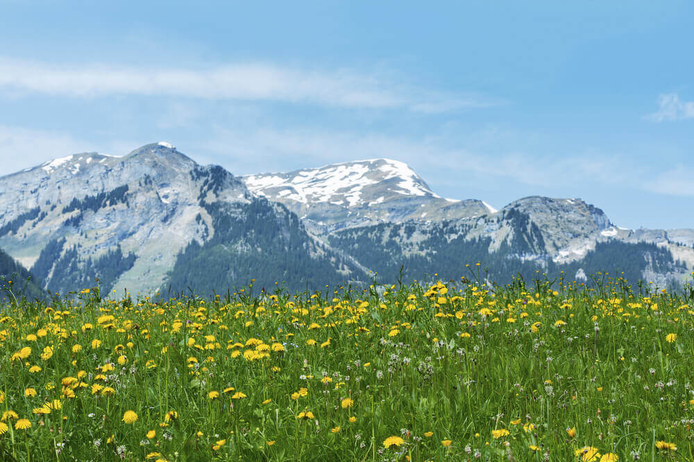 Meadow of flowers in the Alps
