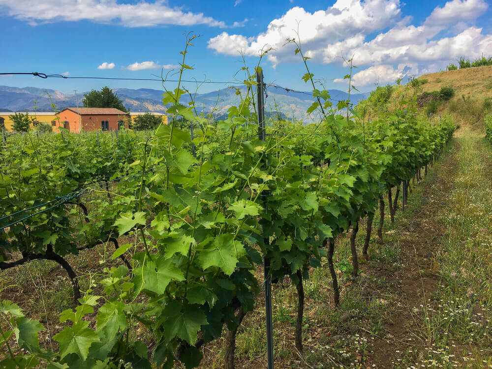 Vineyard in Sicily. Europe trip planner tool
