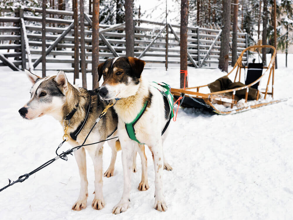 Trip to Finland. Husky dogs with sledge in Rovaniemi, Lapland, Finland