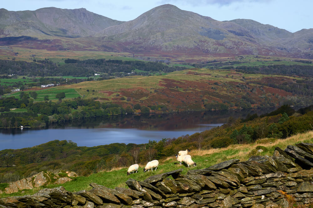 trip to England. Sheep graze beside a dry stone wall on a hillside above Coniston Water in the Lake District, England